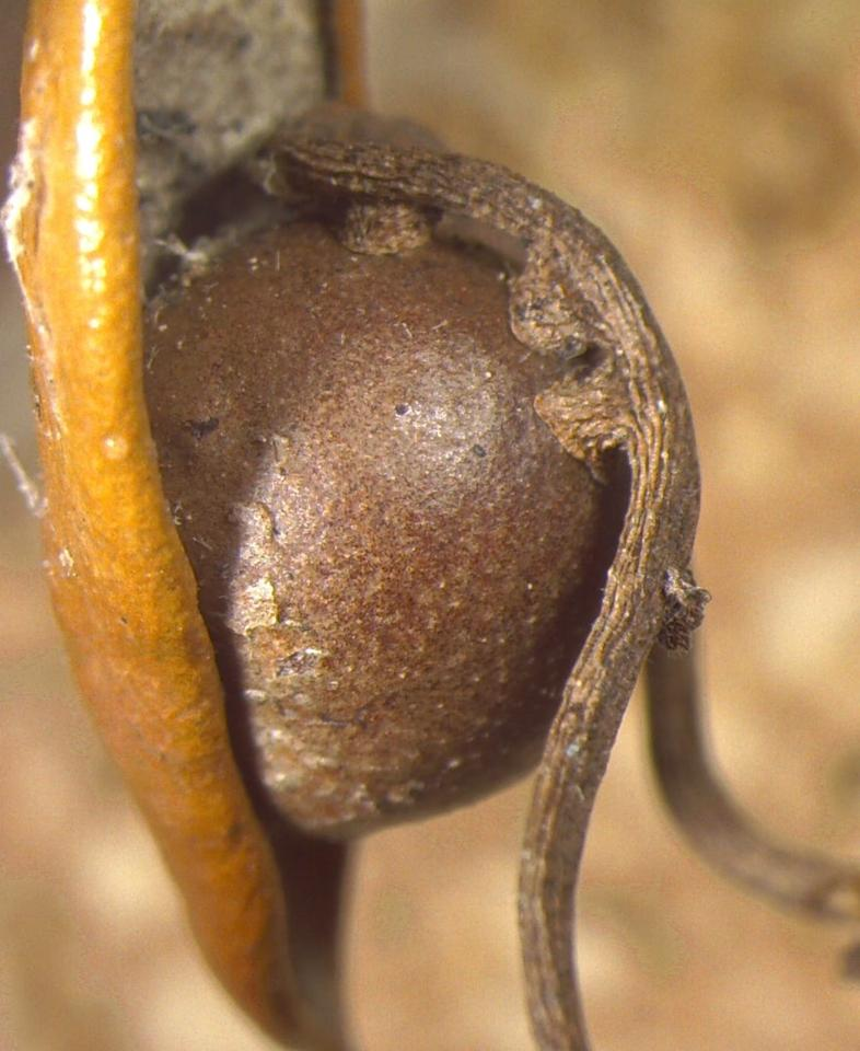 Close-up shot of a gall nursery wrapped up in a 'love vine'