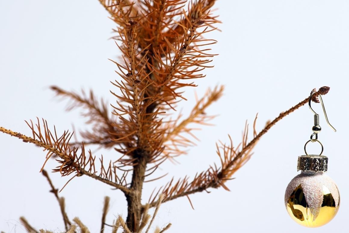 Australian Christmas Tree Pine.Schoolgirls Find Secret To Prolonging The Life Of A