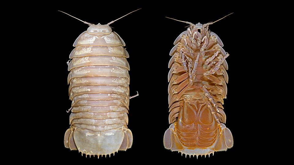 The female specimen of Bathynomus raksasa, seen from above and below