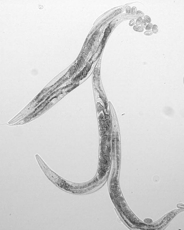 If you are a bacteria-eating worm of the species C. elegans, genetic modifications that raise your free radical levels don't have the negative effect expected