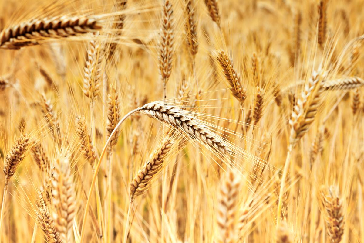 The best-performing line of the transgenic wheat produced grains that were an average of 12.3 percent heavier than those of regular wheat (pictured here), resulting in an 11.3-percent higher total yield