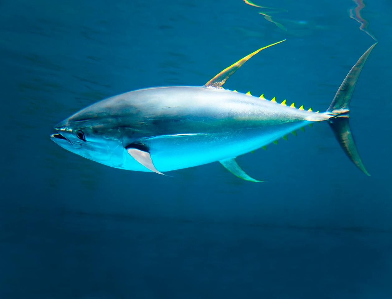 The team studied tuna, such as the yellowfin, as part of their study
