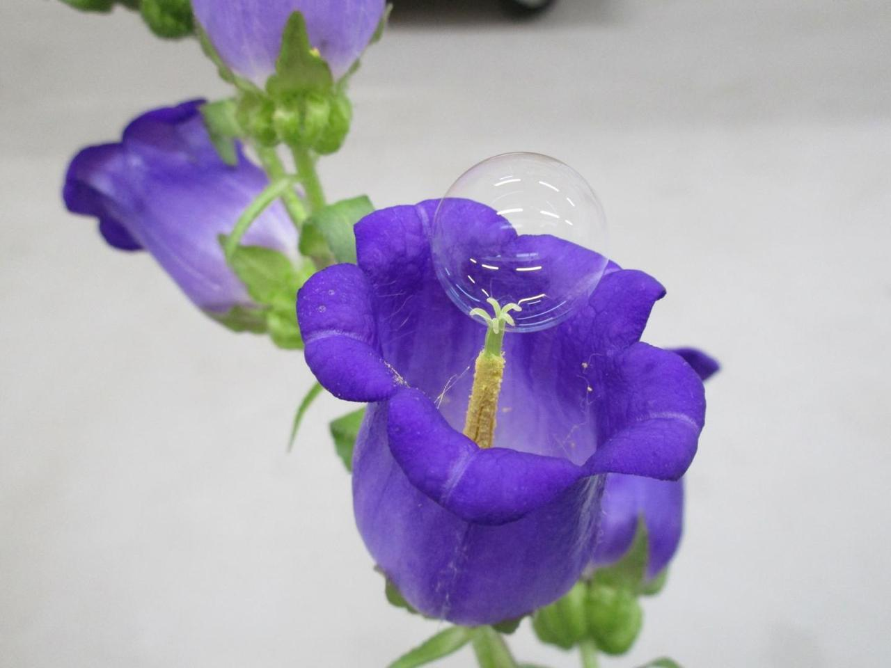 One of the pollen-carrying bubbles, seen here on a campanula flower