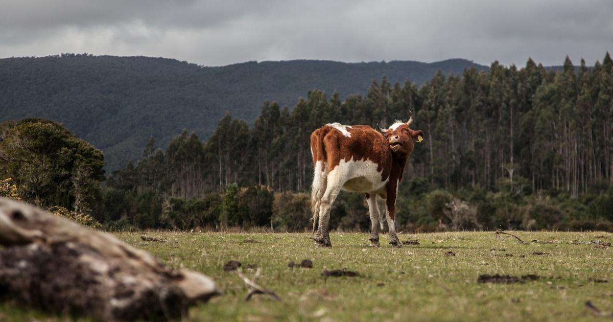 How changing a cow's diet can produce healthier milk, cheese, butter