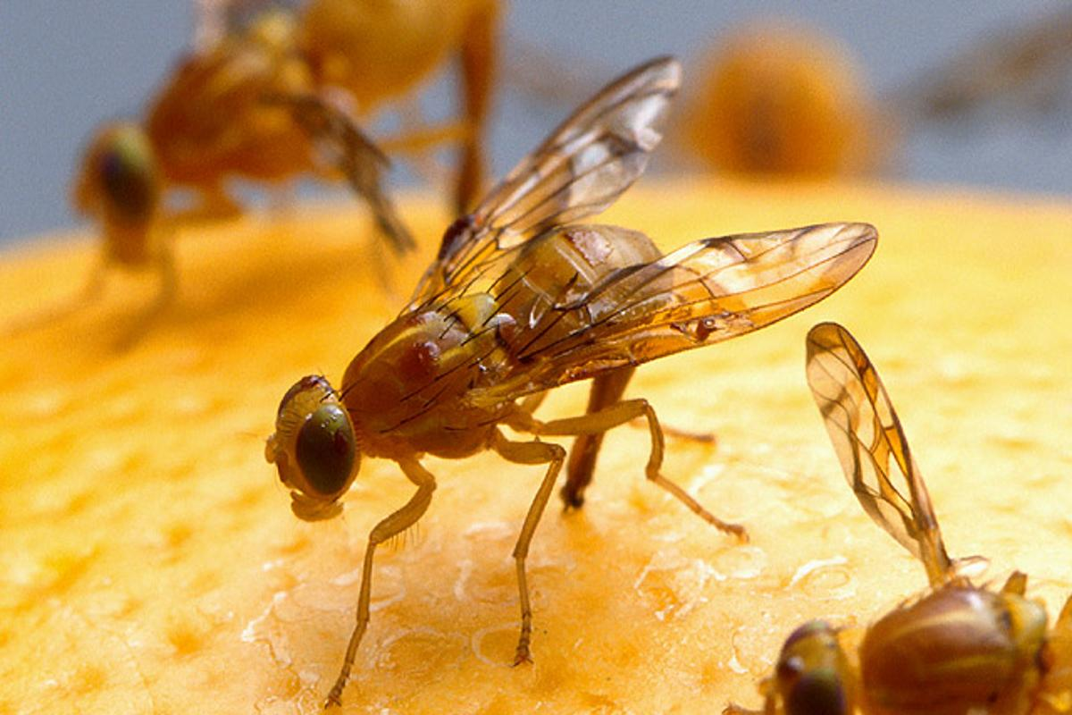 Inspiration from the fruit fly could simplify how wireless sensor networks communicate