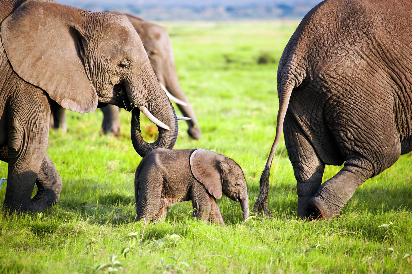 Behavioral studies carried out in zoos suggest that elephants sleep for four to six hours a day, but what about those out in the wild?