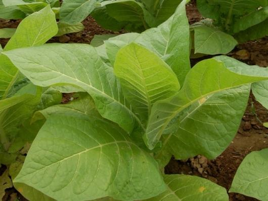 The nicotiana tobacco plant