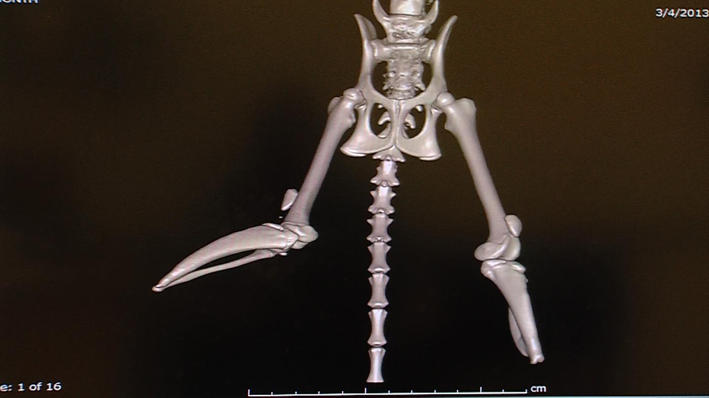 A 3D rendering of Vincent's hind legs, spine, hips and tail