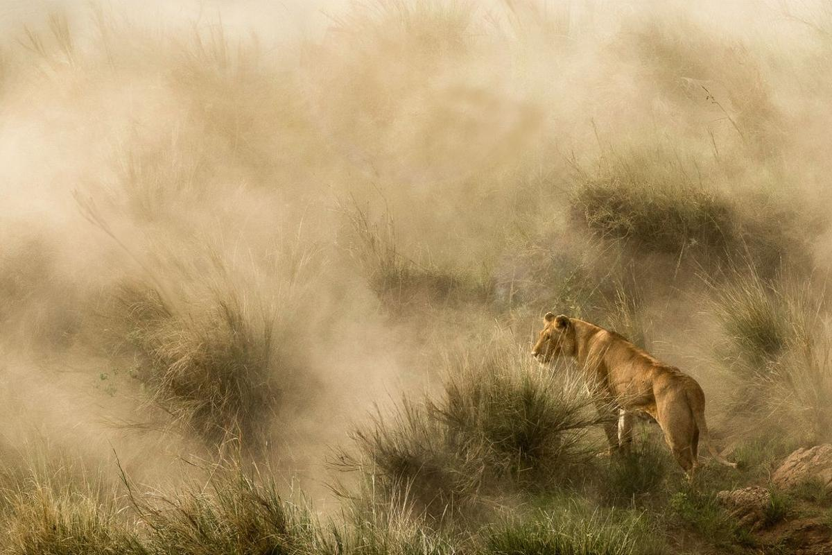 Finalist - Nature. Lioness in a sandstorm, on the banks of the Mara River, Kenya