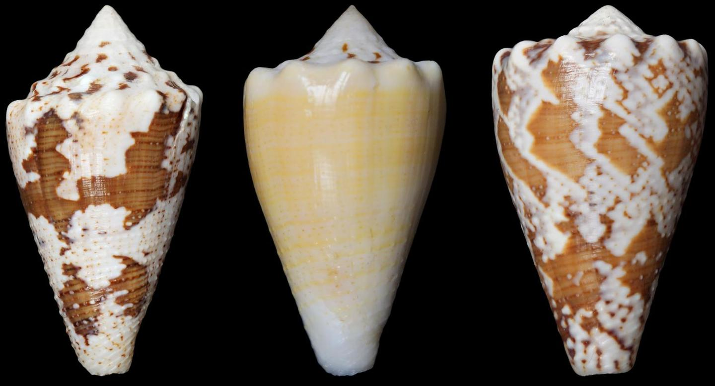 The venom of the cone snail could yield a new, non-opioid pain reliever