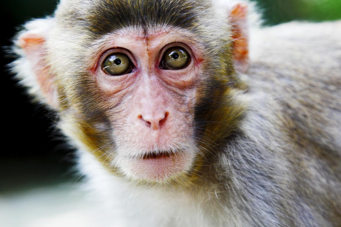 Researchers have developed a neuroprosthesis that restores hand movement in paralyzed monkeys (Photo: Shutterstock)