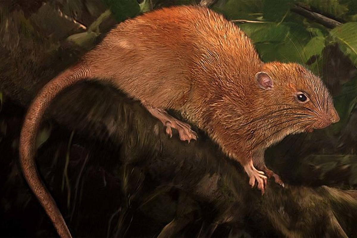 An artist's rendition of the newly discovered species of giant rat, named Uromys vika