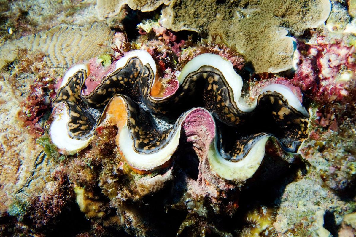 Giant clams utilize two unique processes to produce the color white in their shells