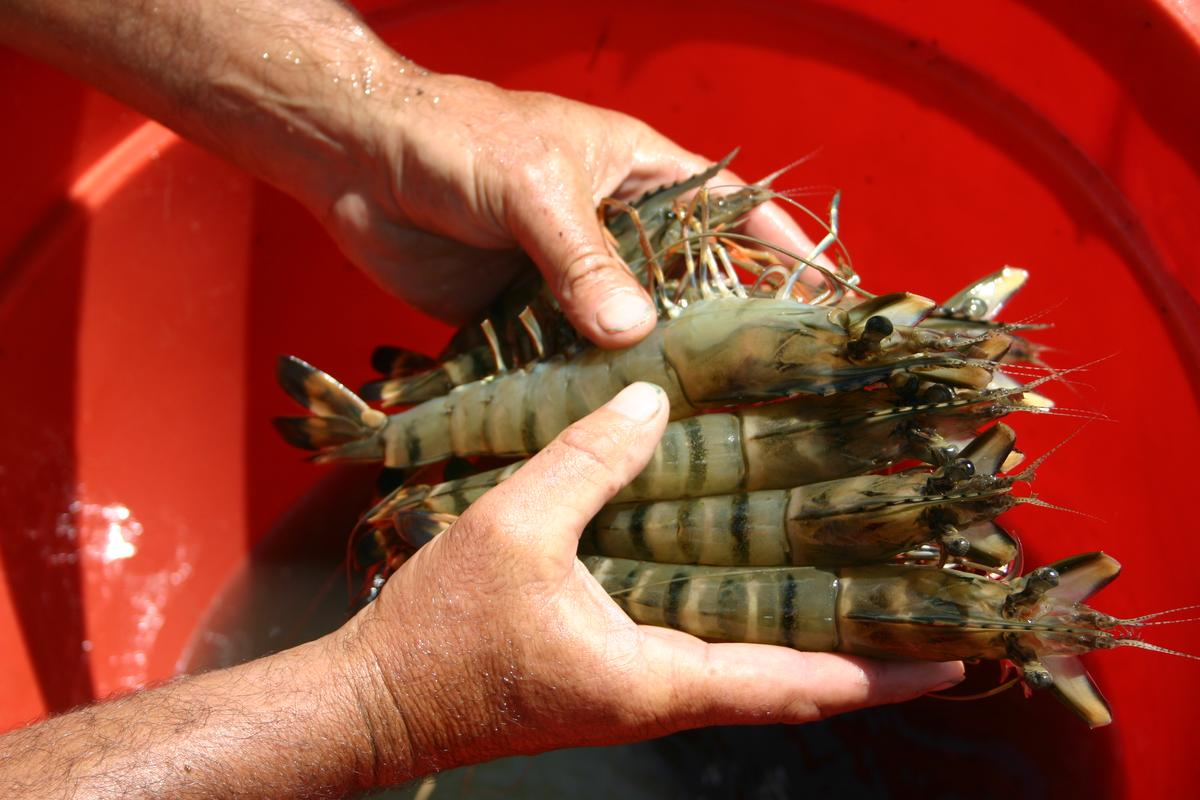 Prawns raised on the Novacq fish-free feed additive (Photo: CSIRO)