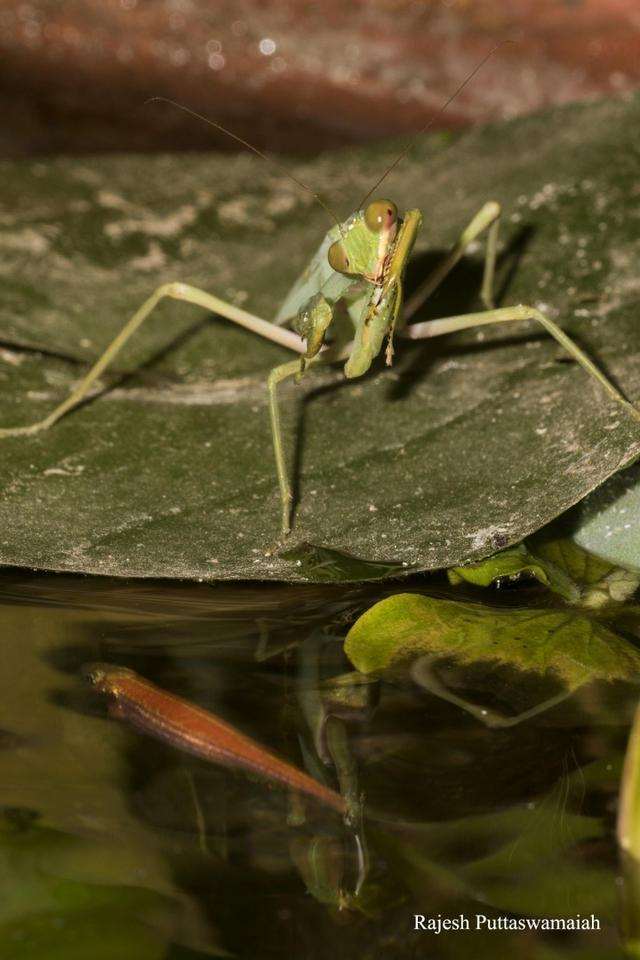 The praying mantis paid daily visits to a plant-pot water feature, where it would perch on the leaves of water lilies and water cabbage plants floating on the surface