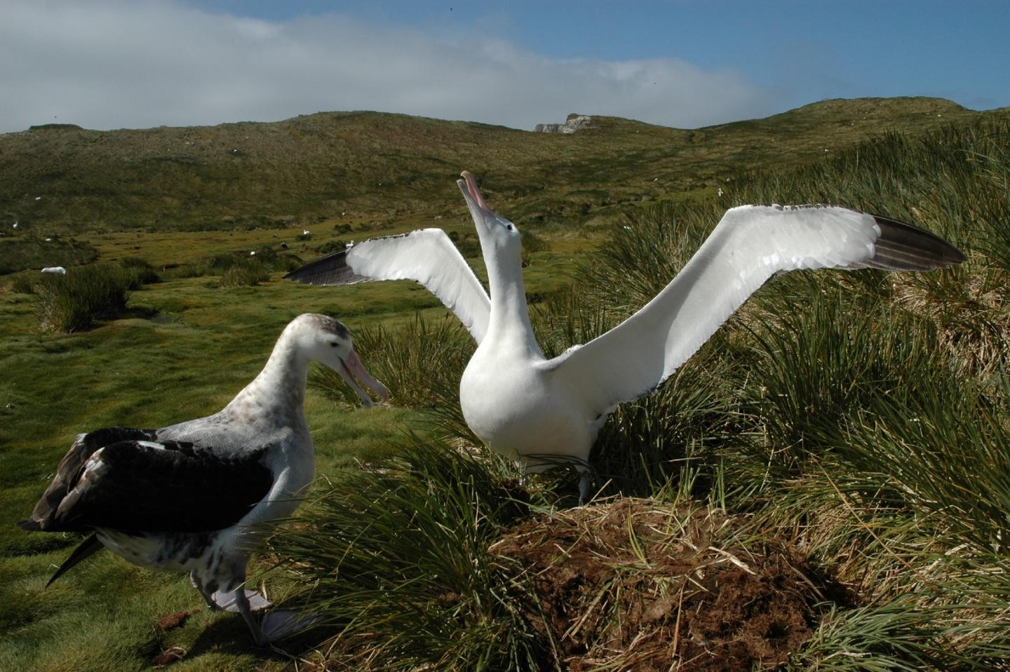 Wandering albatrosses on South Georgia Island in the South Atlantic