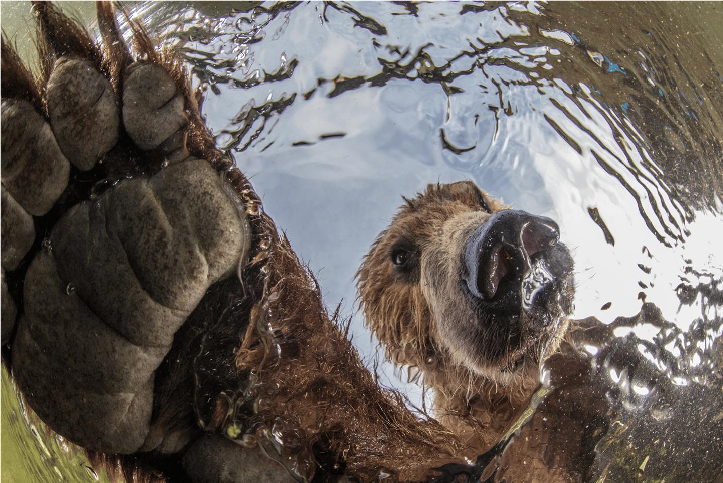 Curiosity by Mikhail Korostelev,Terrestrial Wildlife Winner,South Kamchatka Sanctuary, Russia