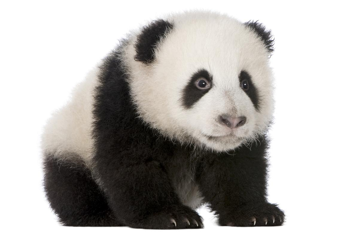 Why do small helpless things – babies, kittens, puppies, pandas in baby form – turn even the most cynical human into a helpless wreck? (Photo: Shutterstock)