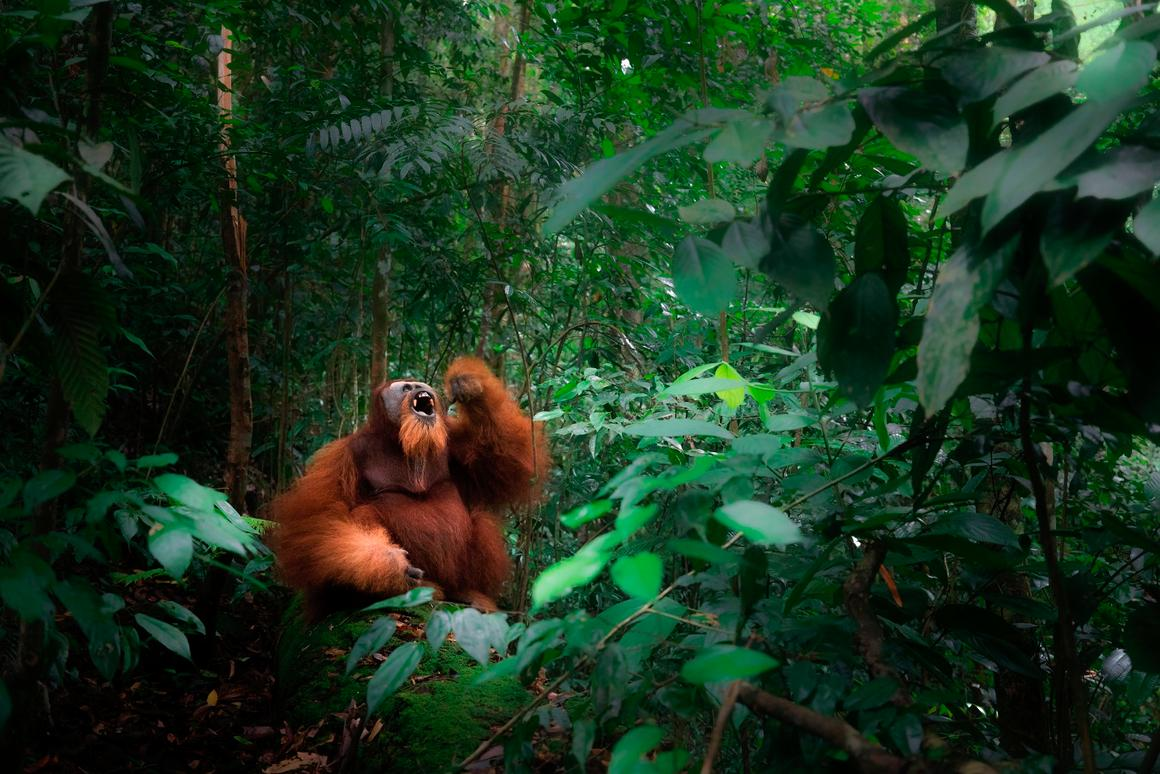 A wild Sumatran orangutan depicted in Gunung Leuser primary forest, Northern Sumatra, August 2017
