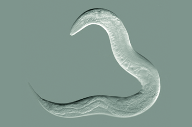 The worm species C. elegans  was found to pass down learned behaviors through four generations