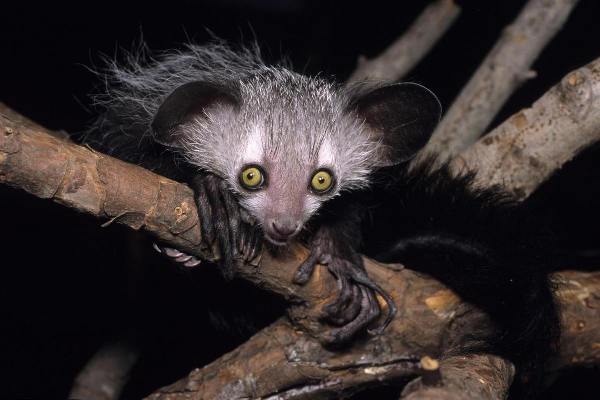 Is this aye-aye buzzed or just hungry?