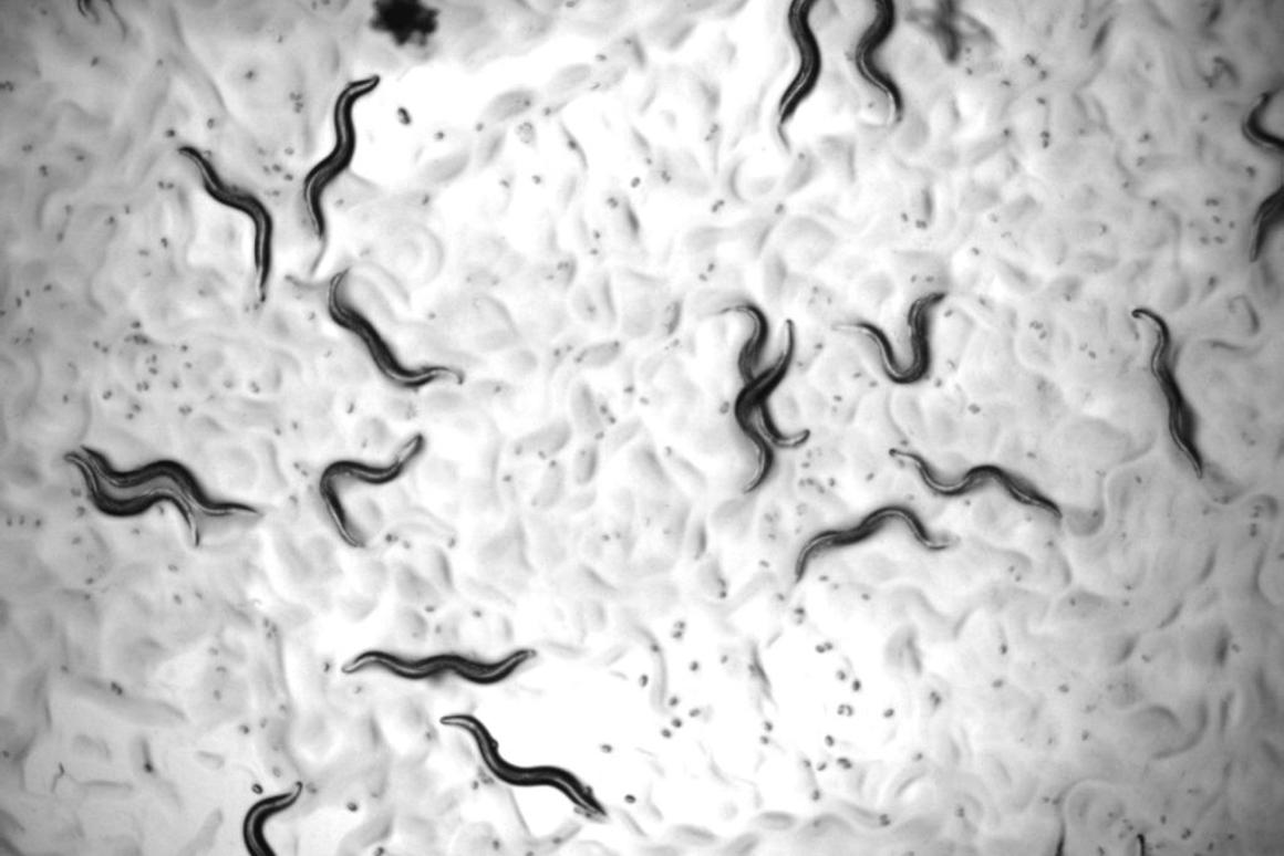 The microscopic C. elegans worms, often used in anti-aging studies, had their lifespan almost doubledafter treatment with a novel triple-drug combination