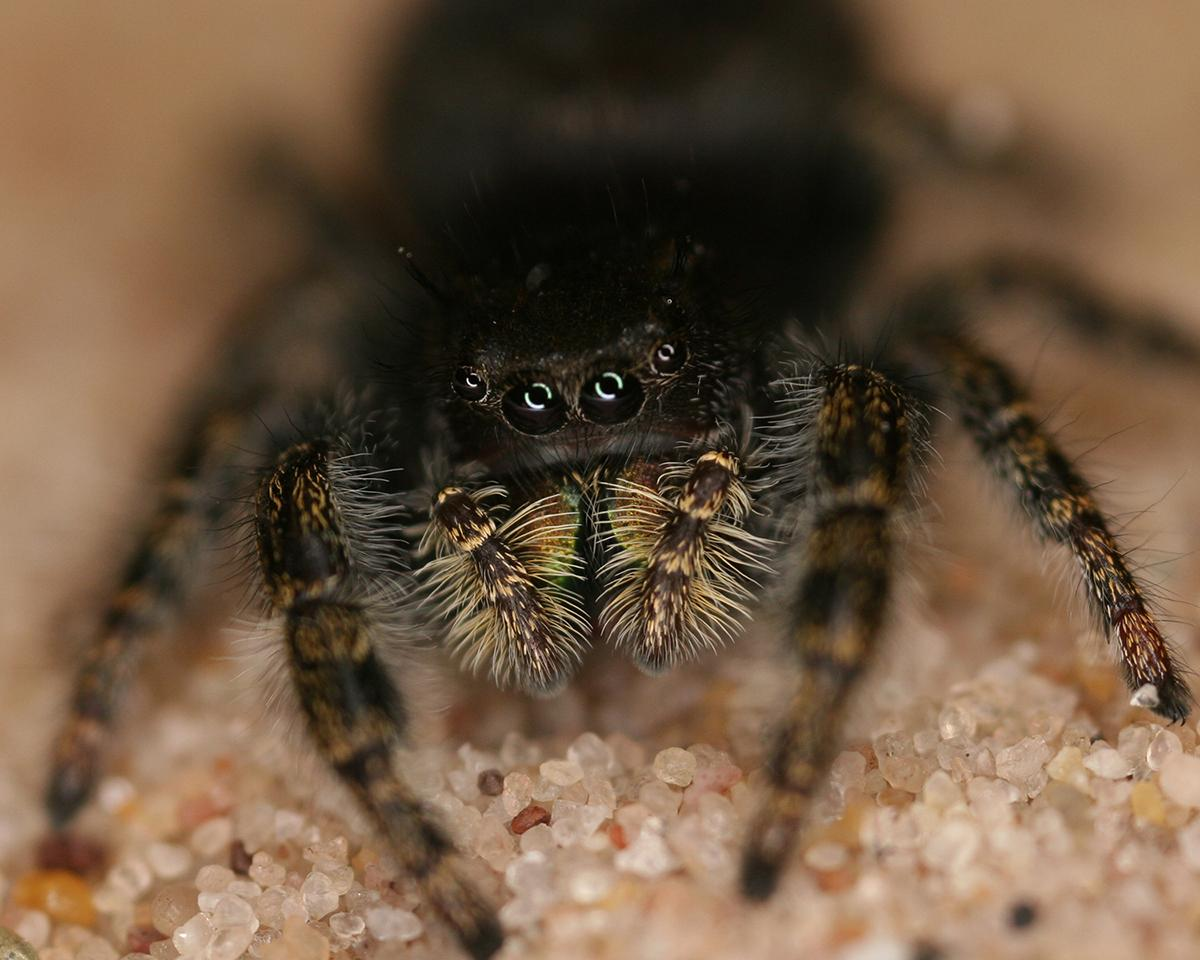 Scientists have discovered that the jumping spider, among other species, can detect sounds over long distances