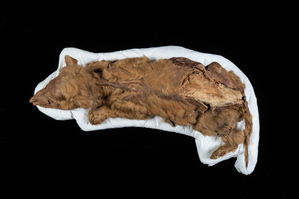 An exceptionally well-preserved wolf pup mummy has been discovered in the Canadian permafrost