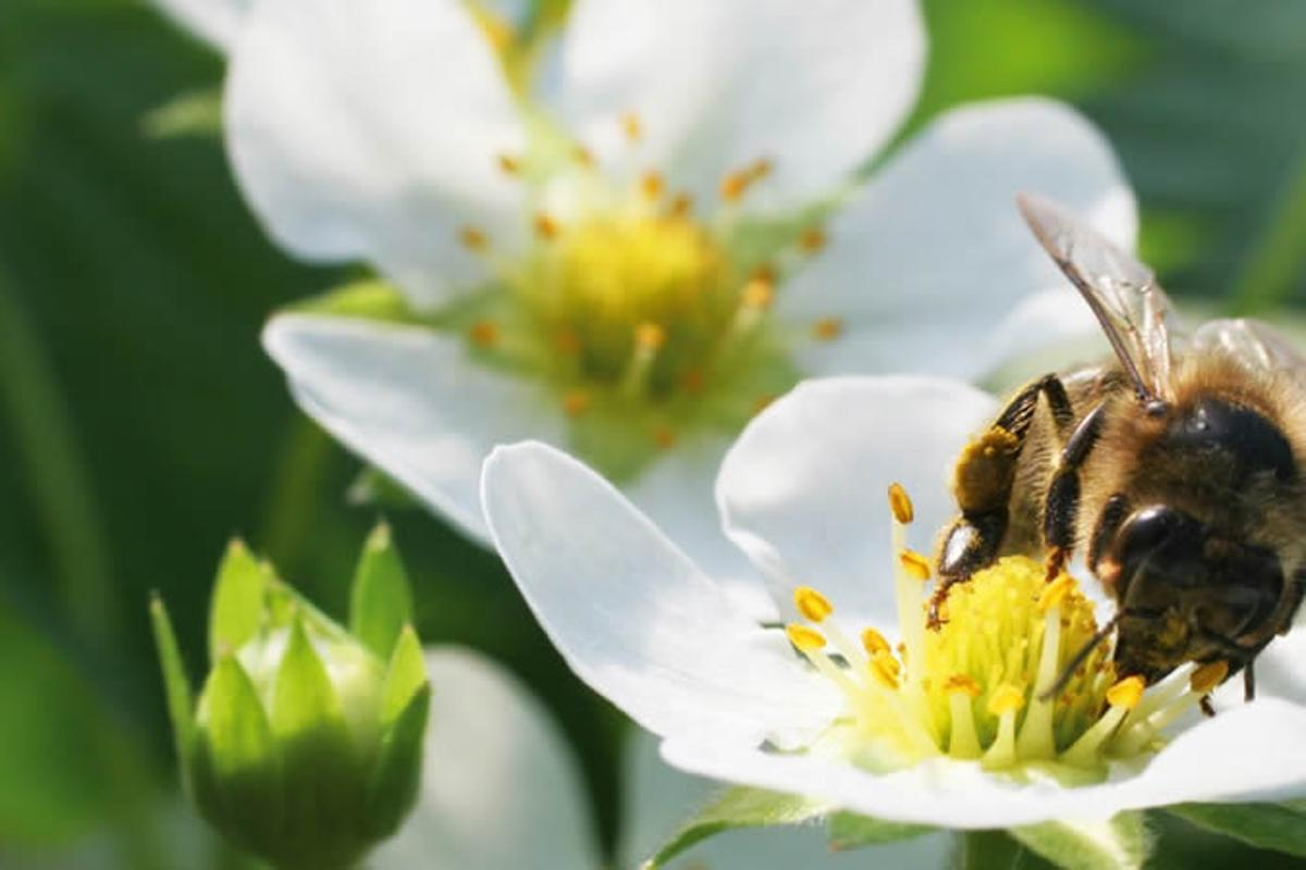 The BVT system sees Bumblebees carry tiny amounts of natural pesticides and beneficial fungi and apply them at the point where their needed – the flower