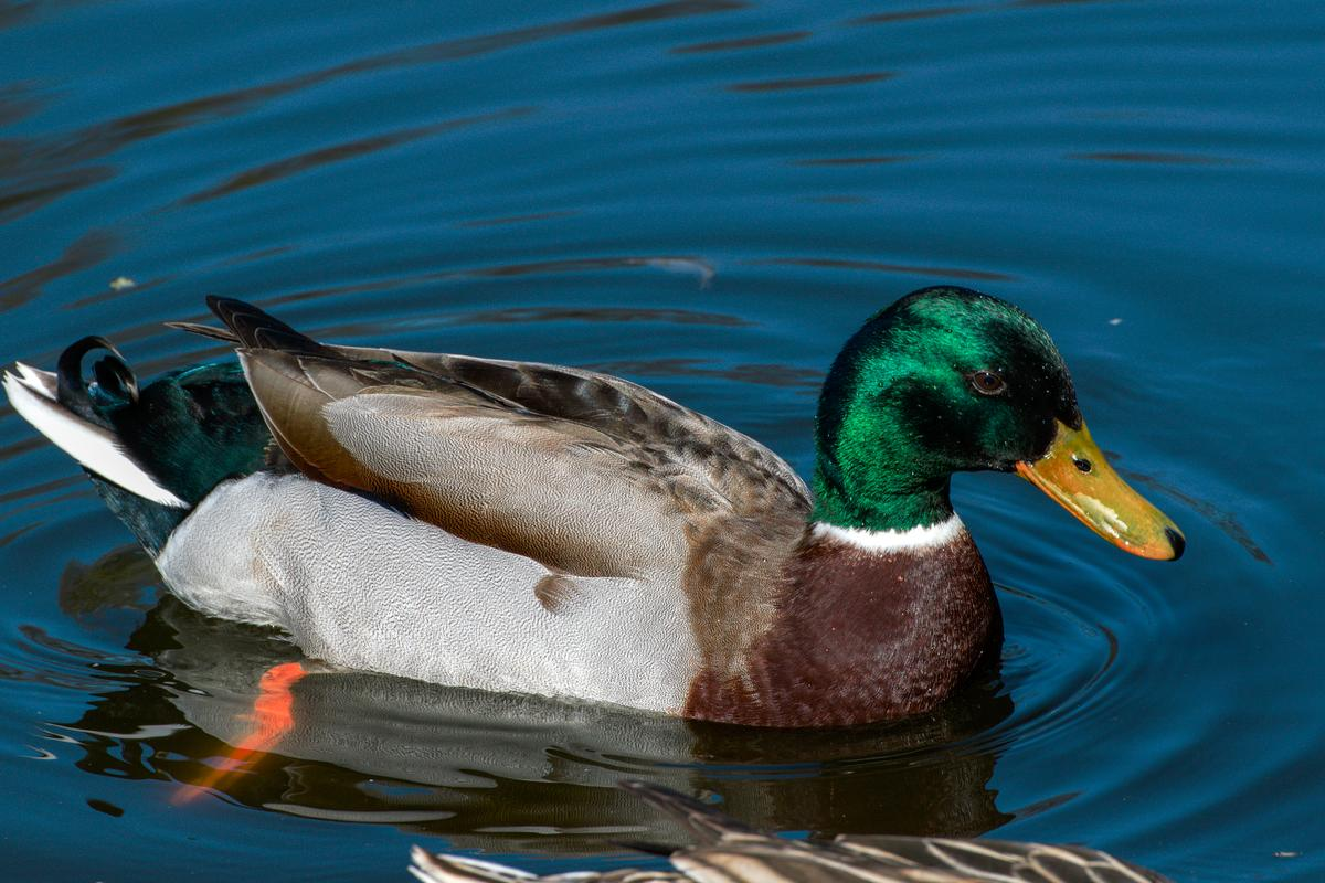 Engineers have created synthetic versions of duck feathers that are just as effective at repelling water as the real things