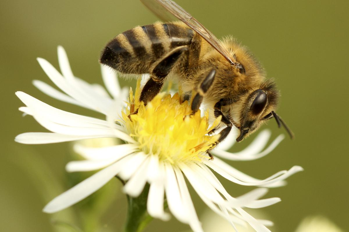 Scientists are working on creating a computer model of the honey bee's brain, which they plan on using in autonomous micro air vehicles (Photo: Shutterstock)