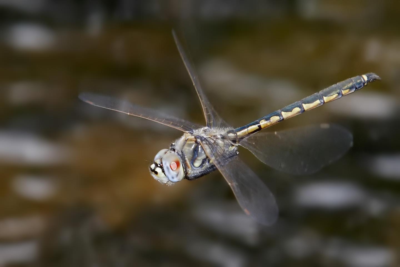 A Hemicordulia tau dragonfly in flight