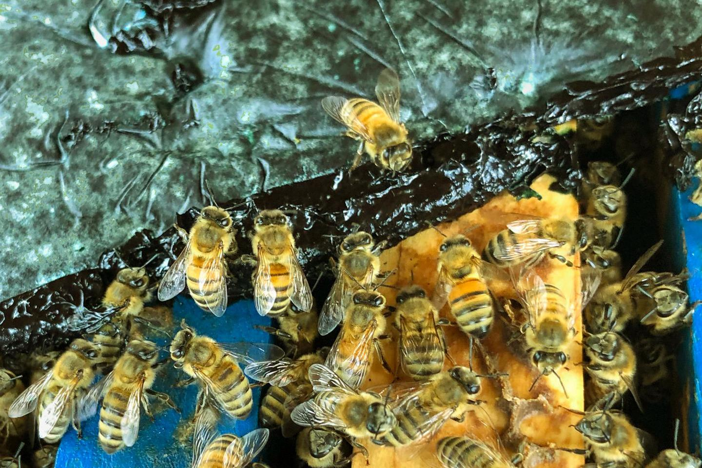 Honeybees sample dried spirulina (Arthrospira platensis) – its nutritional profile is said to closely resemble that of pollen