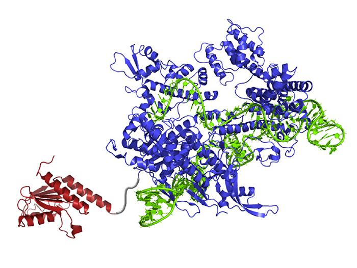 A newly created DNA base editor contains: an atom-rearranging enzyme (red) that can change adenine into inosine (read and copied as guanine); guide RNA (green) which directs the molecule to the right spot; and Cas9 nickase (blue), which snips the opposing strand of DNA and tricks the cell into swapping the complementary base