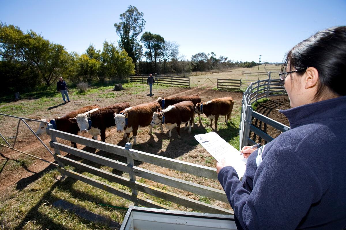 CSIRO Livestock Industries scientist, Dr Caroline Lee, monitoring cattle behavior at Armidale, NSW (Image: CSIRO)