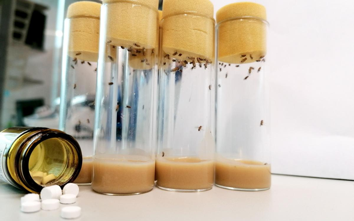 A drug cocktail consisting of three drugs already used in humans has significantly extended the lifespan of fruit flies