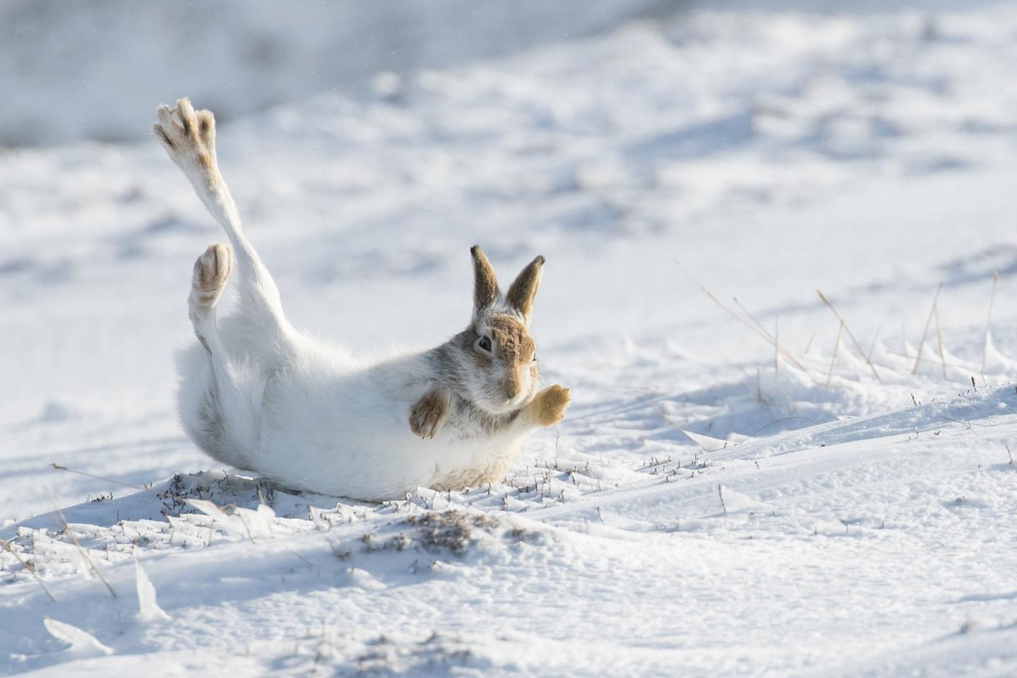 """Mammal Photographer of the Year Runner-Up, """"Rolling Mountain Hare"""""""