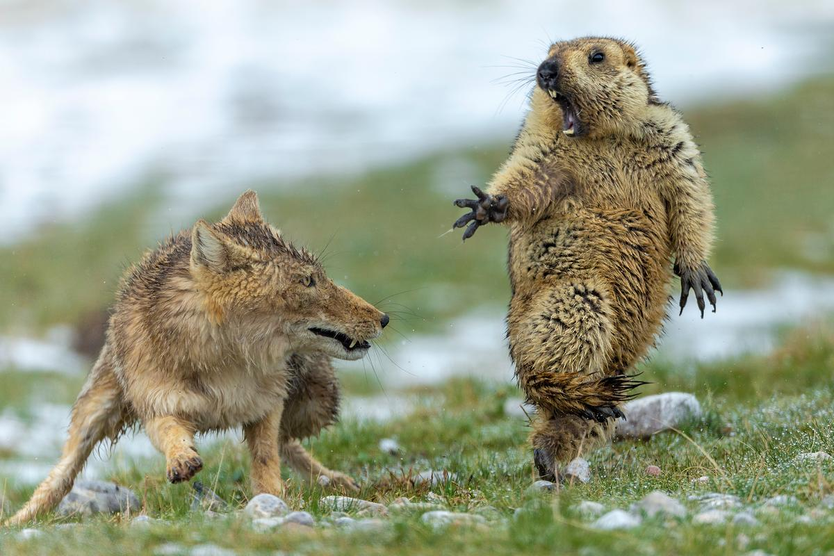 Overall Winner 2019, plus Winner in Behaviour: Mammals. Early spring on the alpine meadowland of the Qinghai–Tibet Plateau, in China's Qilian Mountains National Nature Reserve