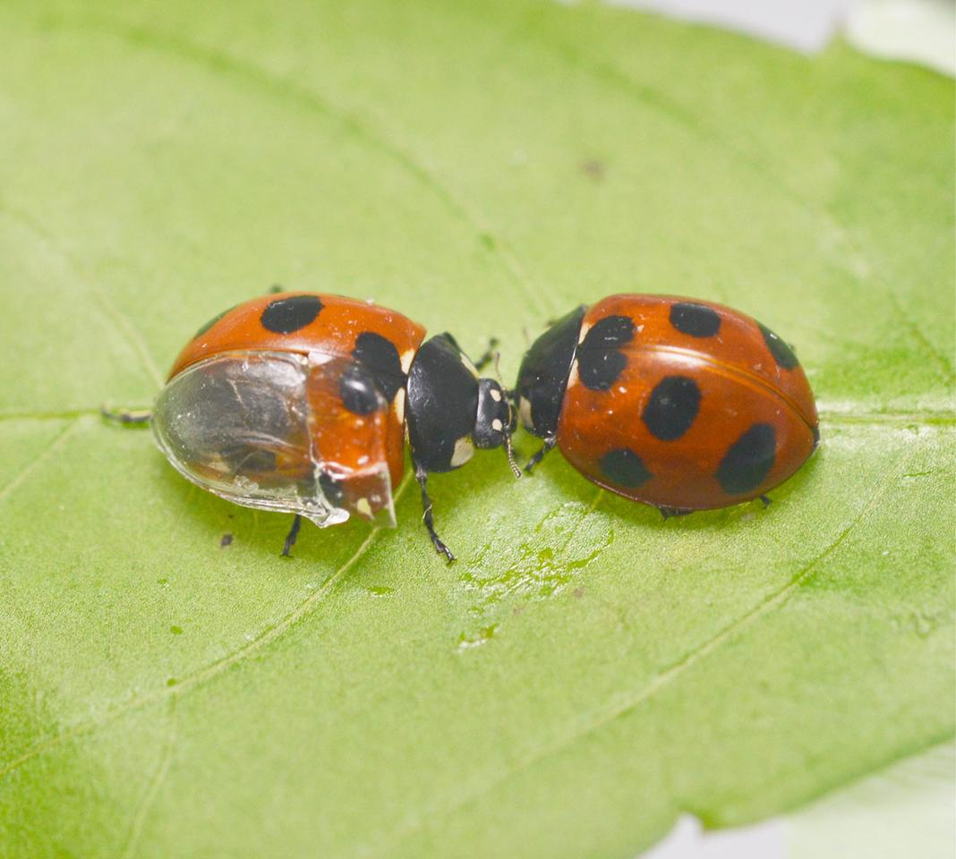 "The ""visible ladybug,"" at left"
