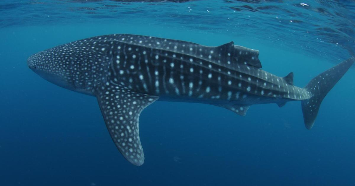 Whale sharks observed regrowing damaged dorsal fins for the first time