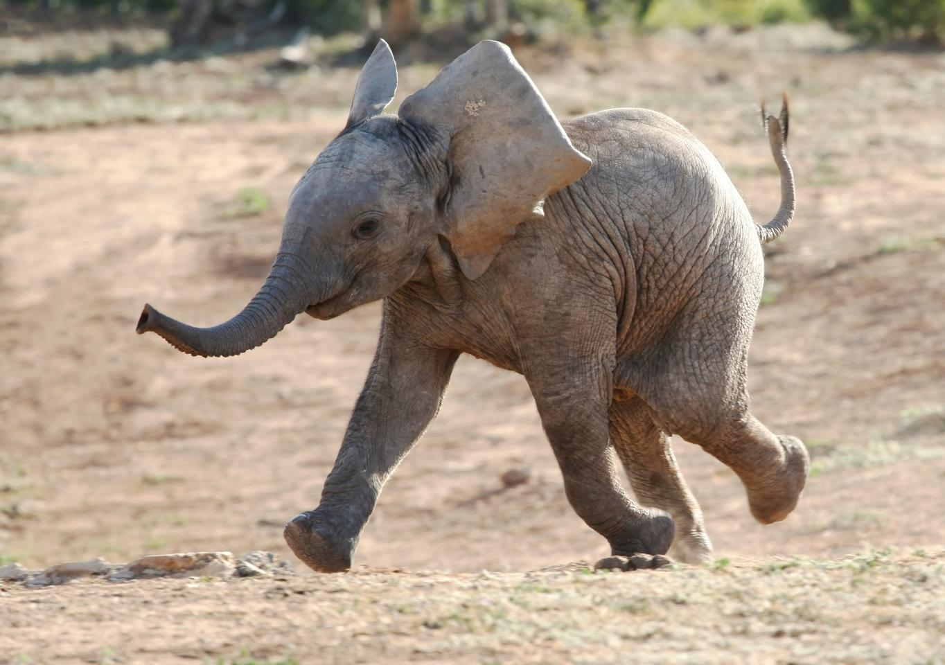 A baby African elephant on the move