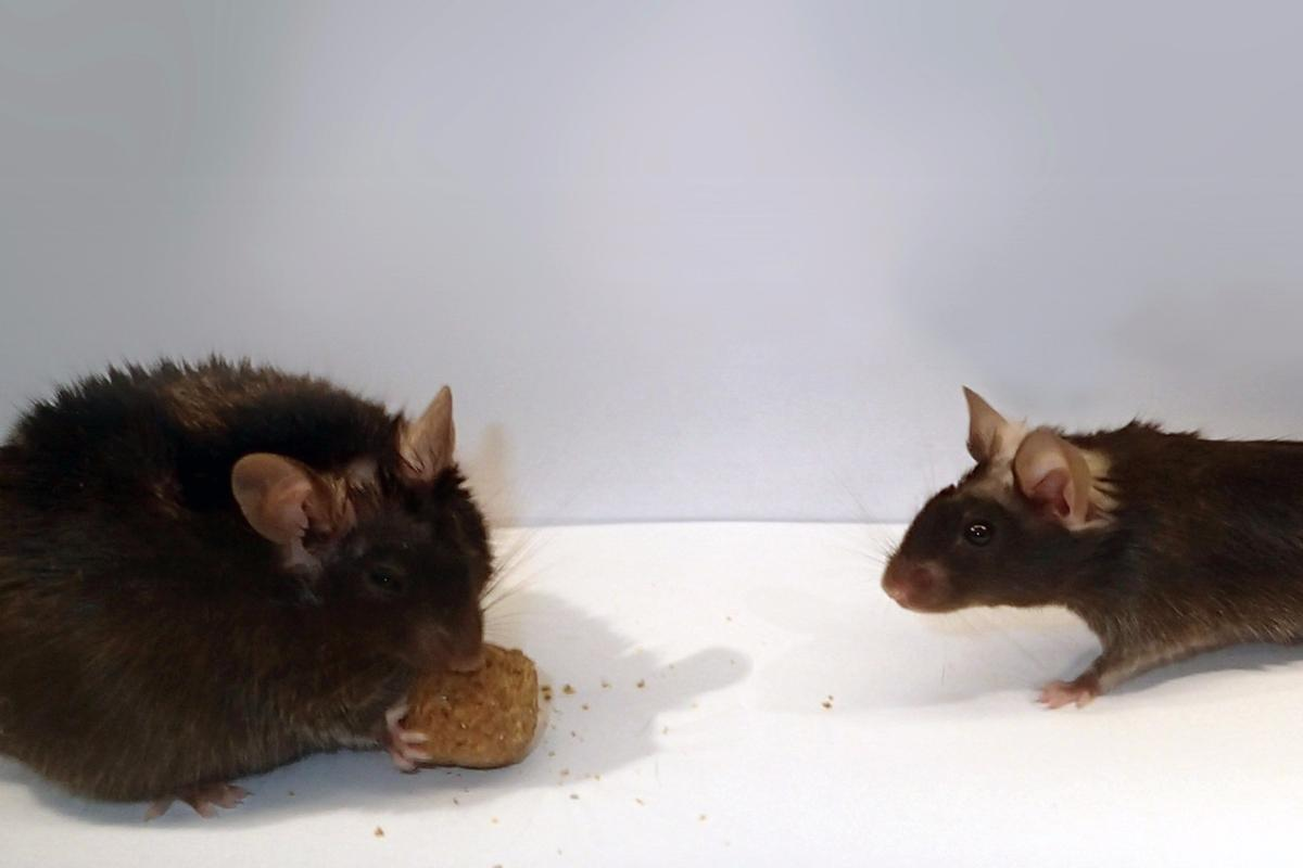 When the researchers turned off the function of the nerve cell, the weight of laboratory mice doubled in just three weeks