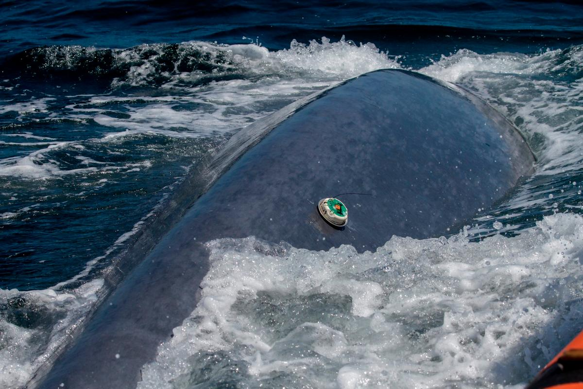 A whale with one of the OSU trackers attached could be quite the marine biologist