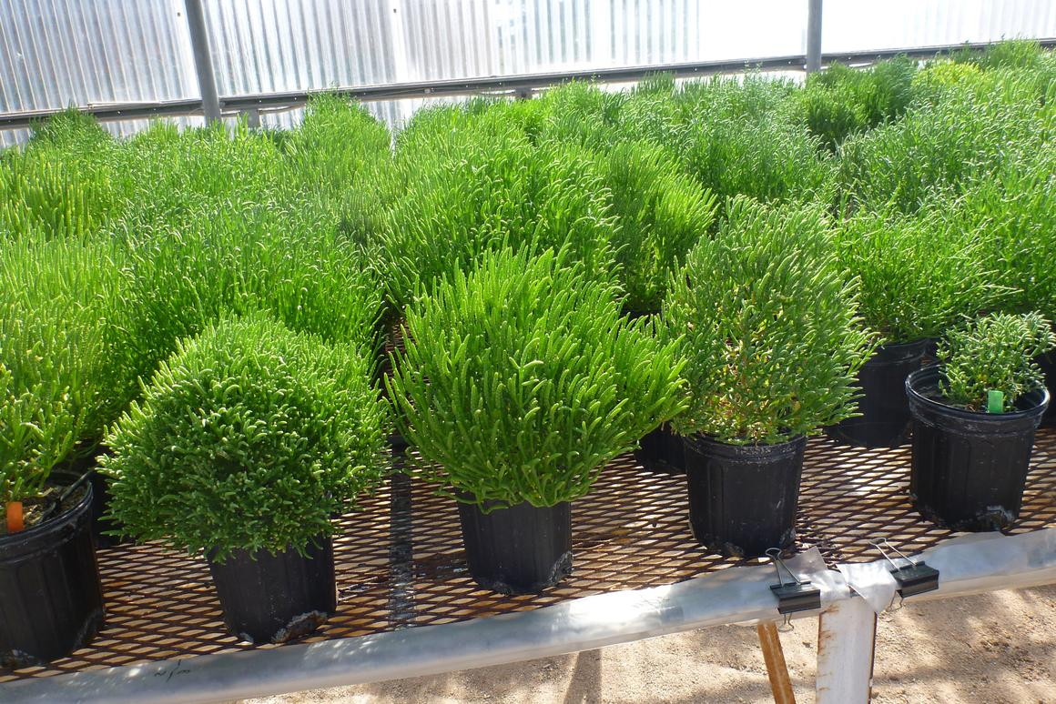The Salicornia is one species of halophyte that is a promising feedstock for biofuel production (Photo: SBRC)