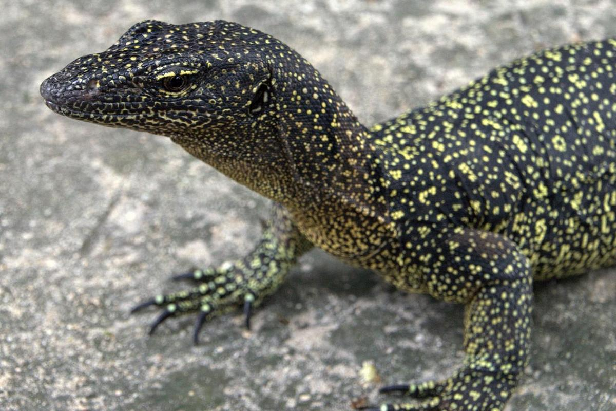 The Varanus douarrha monitor lizard gets up to 1.3 meters (4.3 ft) in length