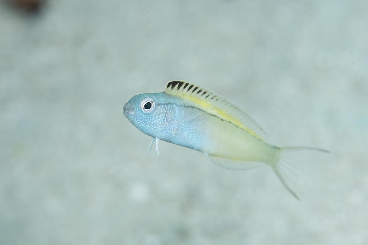 Like scotch bonnet peppers, the venomous fang blenny proves once again that size isn't everything