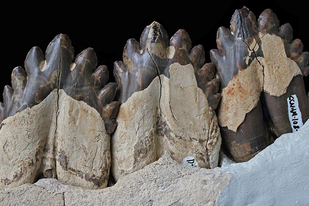 The fossilized teeth of Coronodon havensteini