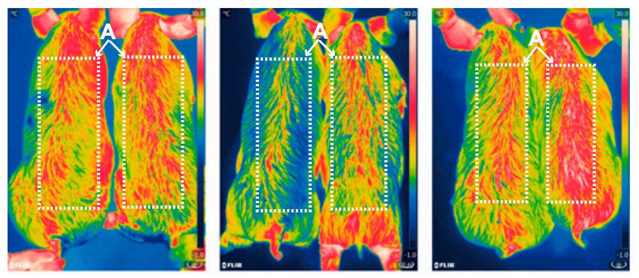 Infrared pictures of 6-month-old pigs taken at zero, two, and four hours after cold exposure show that the pigs' thermoregulation was improved after insertion of the new gene. The modified pigs are on the right side of the images