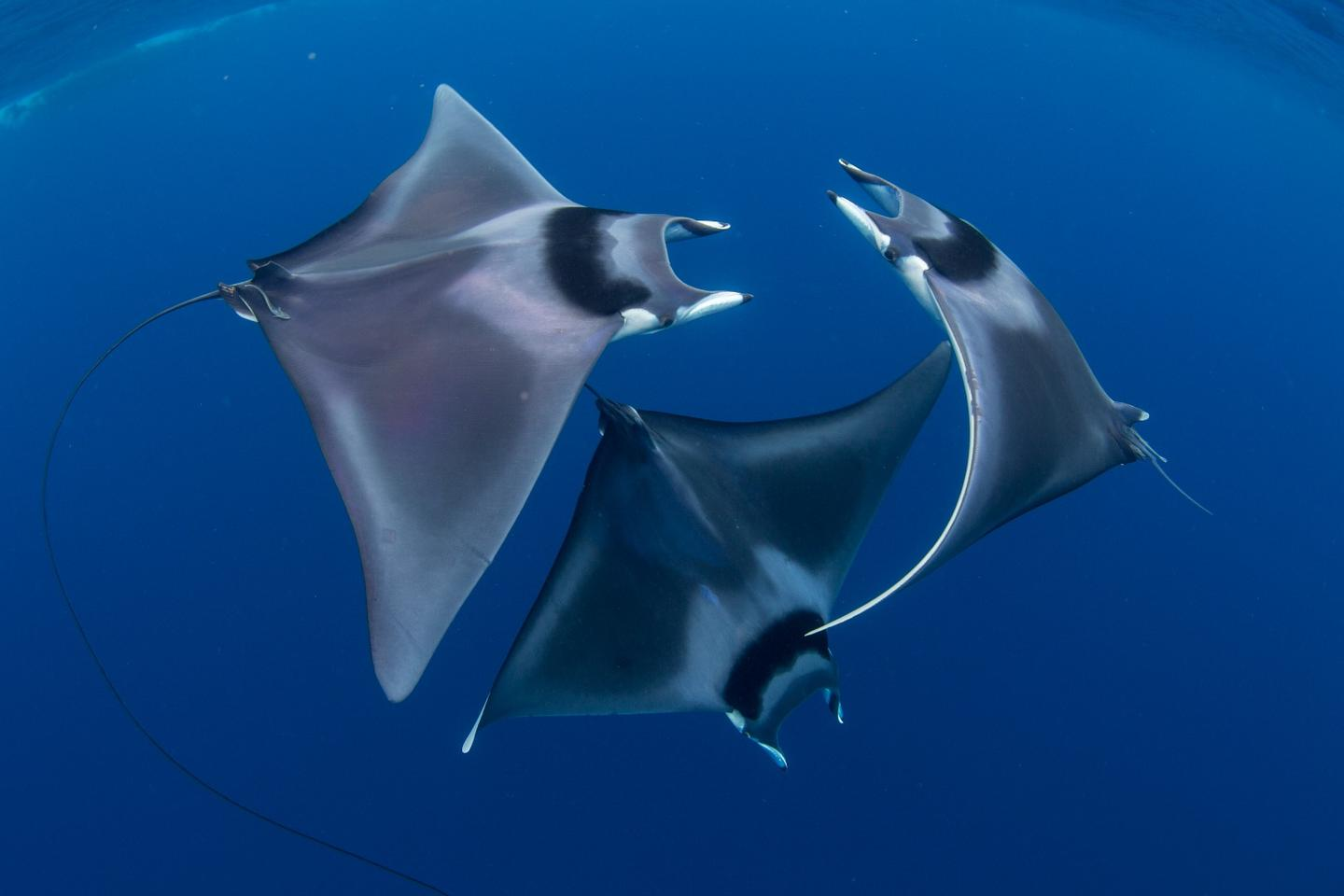 The overall winning photograph, a rarely observed courtship ritual between three devil rays
