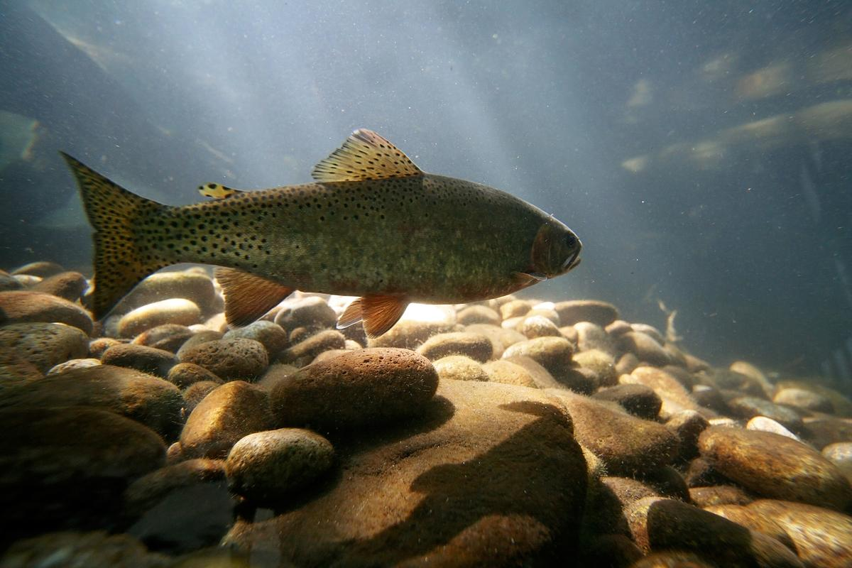 In experiments where trout were subjected to concentrations of methamphetamine found in freshwater rivers, the fish developed a dependence on the drug
